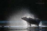Grizzly bear shaking off water.