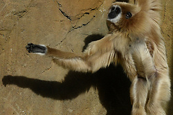 June 13, 2017 - Madrid, Madrid, Spain - A Lar gibbon pictured in his enclosure at Madrid zoo. (Credit Image: © Jorge Sanz/Pacific Press via ZUMA Wire)