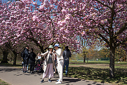 © Licensed to London News Pictures. 24/04/2021. London, UK. Members of the public take a selfie in an avenue of cherry blossom trees during sunny weather in Greenwich Park in south east London. Temperatures are expected to rise with highs of 16 degrees forecasted for parts of London and South East England today . Photo credit: George Cracknell Wright/LNP
