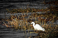 A Little Egret in Chobe National Park, Botswana