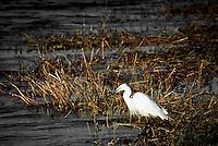 A Little Egret in Chobe National Park, Botswana