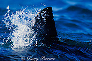 dorsal fin of great white shark, Carcharodon carcharias, slicing through the water off Dyer Island, near Gansbaai, South Africa
