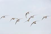 Pintails in flight