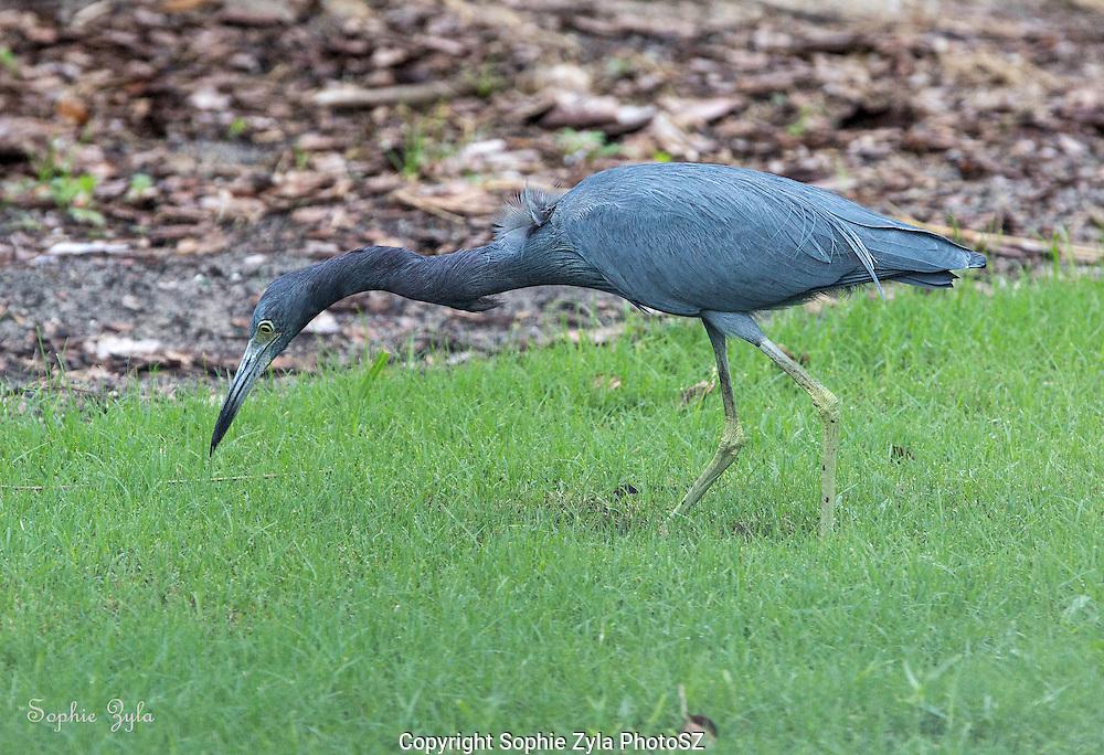 Little Blue Heron Foraging