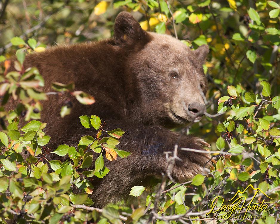 Cinnamon  Black Bear hunting Choke Cherries in Grand Teton National Park.