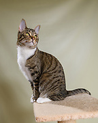 Lennox the loving brown tabby, of cat Instagram Lennox and Sloan, Two Lucky Rescue Cats. Lennox sits atop her carpeted tan brown cat condo perch. Photo by Pet Photographer Mara Robinson Photography