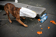 Een hond kruipt in een zak om een broodje eruit te vissen om op te eten.<br /> <br /> A dog is putting its mouth in a bag to get some food
