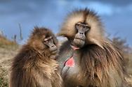 Ein Dschelada-Weibchen und ein Männchen (Theropithecus gelada) bei der gegenseitigen Fellpflege, Simien Nationalpark, Debark, Region Amhara, Äthiopien / <br /> <br /> A Gelada female and a male (Theropithecus gelada) grooming each other, Simien National Park, Debark, Amhara Region, Ethiopia