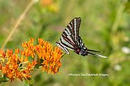 03006-00508 Zebra Swallowtail (Protographium marcellus) on Butterfly Milkweed (Asclepias tuberosa) Marion Co. IL