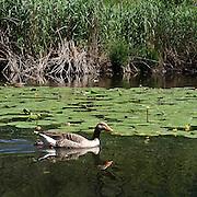 Anatra sul Lago di Segrino...A mallard on Segrino Lake