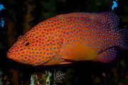 Miniatus Coral Grouper (Cephalopholis miniata) in Komodo National Park, Indonesia.