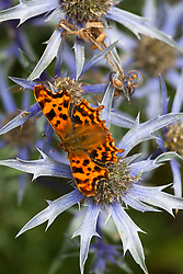 Comma butterfly on Eryngium bourgatii. Polygonia c-album