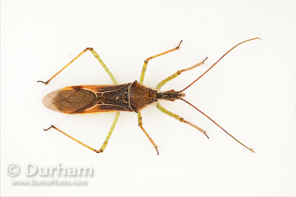 A leafhopper assassin bug (Zelus renardii ). NW Oregon.