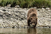 A brown bear spring cub drinks from the river at the McNeil River State Game Sanctuary on the Kenai Peninsula, Alaska. The remote site is accessed only with a special permit and is the world's largest seasonal population of wild brown bears in their natural environment.