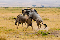Blue wildebeest (gnu) mating, Amboseli National Park, Kenya