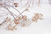 Ice storm covering dried winter flowers of Garlic Chive and Queen Anne's Lace