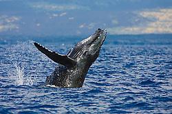 Humpback Whale calf, breaching, Megaptera novaeangliae, Hawaii, Pacific Ocean.