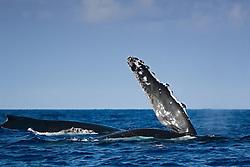 humpback whale pec-slapping, Megaptera novaeangliae, Hawaii, Pacific Ocean