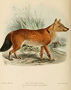 "The Sumatran dhole (Cuon alpinus sumatrensis [Cyon javanicus var dukhunensis]) also known as the Sumatran wild dog is a subspecies of dhole native to the Indonesian islands of Sumatra. From the Book Dogs, Jackals, Wolves and Foxes A Monograph of The Canidae [from Latin, canis, ""dog"") is a biological family of dog-like carnivorans. A member of this family is called a canid] By George Mivart, F.R.S. with woodcuts and 45 coloured plates drawn from nature by J. G. Keulemans and Hand-Coloured. Published by R. H. Porter, London, 1890"