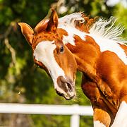 20130708 Reflection Farm Pinto Horses