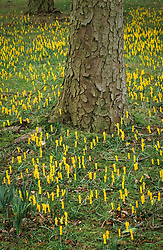 Drifts of Narcissus cyclamineus naturalised in grass