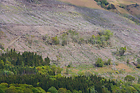 conifer plantation. and bare hillside after timber felling