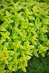 Origanum vulgare 'Aureum' AGM. Golden marjoram, Golden oregano.