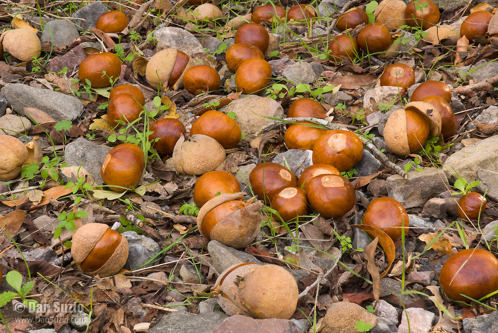 Seeds of California buckeye, Aesculus californica, in a streambed under the trees.  Mount Diablo State Park, California