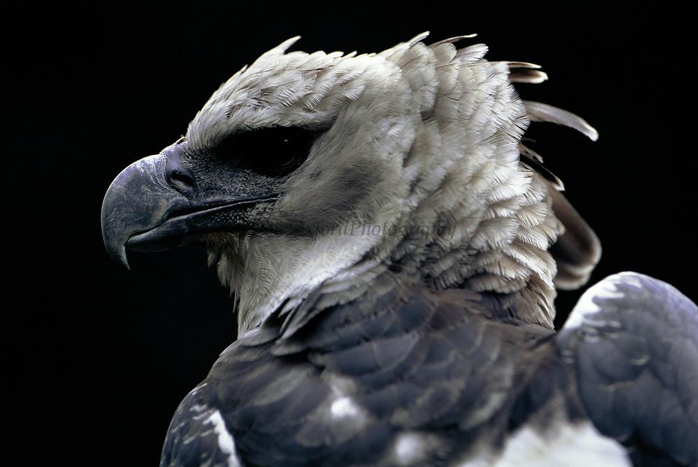 Harpy Eagle<br />Harpia harpyja<br />Amazon Rain forest, BRAZIL.  South America<br />Range: Central America to e Brazil