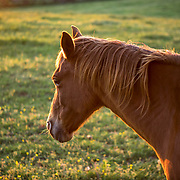 Coronavirus (COVID-19) DAY 50: Buckland Farm, Buckland, VA on Saturday, May 2, 2020. Pleasant Colony was bred at Buckland Farm and stayed there from 1982-1998. Pleasant Colony won the Kentucky Derby and the Preakness in 1981. Today was the original date of the 2020 Kentucky Derby until it was postponed until later in the summer because of the Coronavirus. John Boal Photography