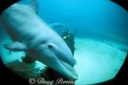 bottlenose dolphin, Tursiops truncatus, looks out through window at Miami Seaquarium, Virginia Key, Florida, USA; dolphin's ear opening plainly visible
