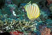 ornate butterflyfish, Chaetodon ornatissimus, feeding on coral, Sipadan Island, off Borneo, Sabah, Malaysia<br /> ( Celebes Sea )