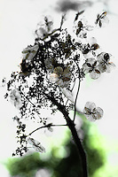 A dried hydrangea cluster abstract resembling a Japense watercolor painting.