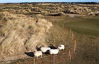 TEXEL - De Cocksdorp - Schapen grazen  op de baan. Golfbaan De Texelse. COPYRIGHT KOEN SUYK