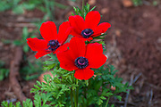 Red Anemone coronaria AKA Spanish marigold, Poppy Anemone or Kalanit (in Hebrew). This wildflower can appear in several colours. Mainly red, purple, blue and white. Photographed in Israel in March
