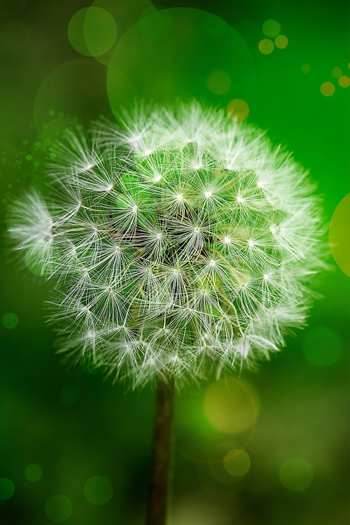 """The common yellow dandelion flower head can change into the familiar, white, globular seed head overnight. Each seed has a tiny parachute, to spread far and wide in the wind. <br /> The thick, brittle, beige, branching taproot grows up to 10"""" long. All parts of this plant exude a white milky sap when broken.<br /> <br /> Dandelions are generally easily recognizable in all seasons.  The growth of leaves from the basal rosette, the leaf shape with its characteristic multi-toothed edges (although some dandelions exhibit less toothiness and a smoother, broader leaf - these are generally found in shady areas) is easy to spot even in winter.  If unsure, break a stem or leaf and the characteristic milky sap will emerge. When in bloom, dandelions are bright yellow and hard to miss. <br /> <br /> The genus name of the dandelion comes from the Greek word taraxos, which means disorder, and akos, which means remedy. The species name, officinale, means that it is used medicinally.  The common name may come from the Greek word leontodon, which means lion's tooth. Other sources claim the word dandelion comes from the old French word Dent-de-lion or from the Latin dens leonis, both also meaning lion's tooth or teeth."""
