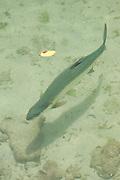 Sabalo (Megalops Atlanticus) Oceanarium, San Martin de Pajarales island, Rosario islands, Cartagena de Indias, Colombia, South America.