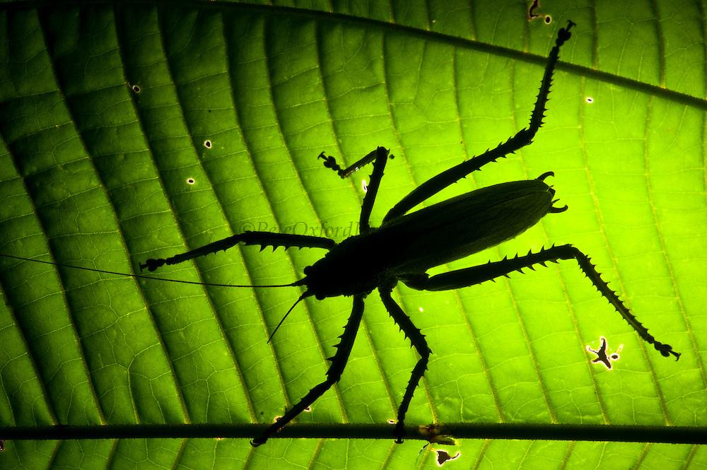 Katydid (Choeroparnops alatus)<br /> Yasuni National Park, Amazon Rainforest<br /> ECUADOR. South AmericaKatydid (Schedocentrus sp.)<br /> Yasuni National Park, Amazon Rainforest<br /> ECUADOR. South America