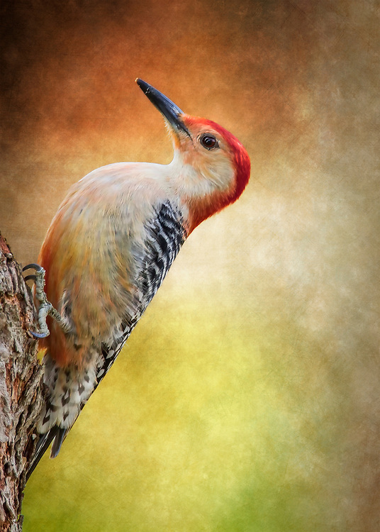 A Red-Bellied Woodpecker Perched On A Tree With A Typical Pose With A Fine Art Flare