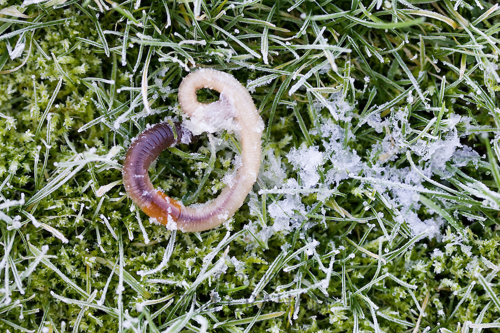 Earthworm frozen to death on frost covered grass, Swinbrook, Oxfordshire, United Kingdom