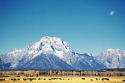 Bison, full moon, Mt. Moran, Grand Tetons, Grand Teton National Park