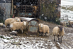 Pictured: Texils and Scottish Grey Faces just get on with their lives<br /> <br /> Poor weather conditions are taken in their stride by animals and workers on the A701 between Broughton and Moffat. <br /> <br /> Ger Harley   EEm 23 February 2017