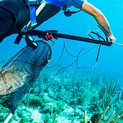 Commercial fisherman Andres Maldonado, with a hogfish in his bag, hunts lobsters and fish off Cabo Rojo, Puerto Rico. He noticed drastic and obvious declines in fish numbers and habitat availbale after Hurricane Maria in 2017 which put many other commercial fisherman out of business.