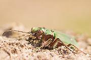 Green tiger beetle (Cicindella campestris) on heathland. Wisley Common, Surrey, UK.