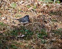 Dark-eyed Junco. Image taken with a Nikon 1V1 camera, FT1 adapter, and 300 mm f/2.8 VR lens (ISO 100, 300 mm, f/4. 1/320 sec).