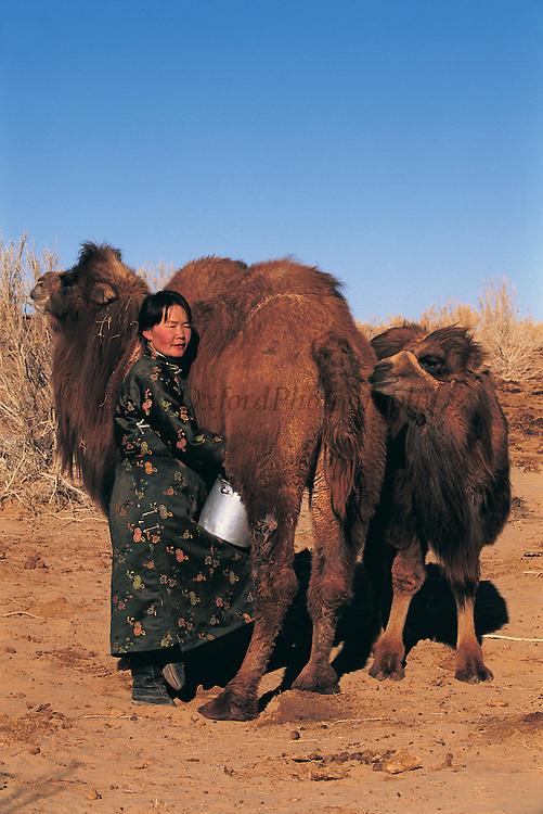 Bactrian camel milking (Camelus bactrianus)<br /> Gobi Desert<br /> Mongolia