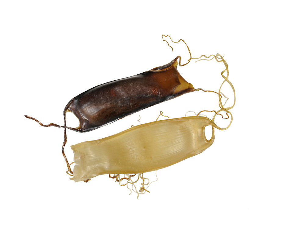 Lesser Spotted Catshark (Dogfish) Scyliorhinus canicula egg case Length to 4cm. Capsule small, relatively narrow and translucent; has long curling tendrils at corners, and may be found in small groups.