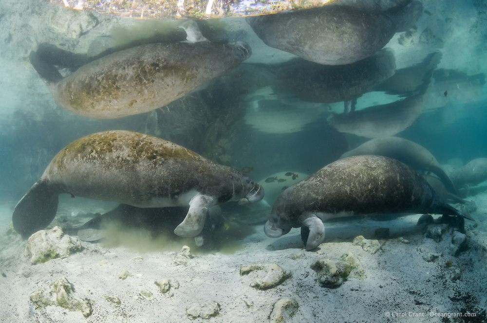 Florida manatee, Trichechus manatus latirostris, a subspecies of the West Indian manatee, endangered. A group of manatees rest at the perimeter of the springs where the water can become a little cloudy. On this cold winter days it is a warm spot for manatees and fish, bream, Lepomis spp., that gather near the manatees. Horizontal orientation with reflections. Three Sisters Springs, Crystal River National Wildlife Refuge, Kings Bay, Crystal River, Citrus County, Florida USA.