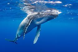 A juvenile Humpback Whale, Megaptera novaeangliae, surfaces to breathe.   Moorea, French Polynesia, Pacific Ocean
