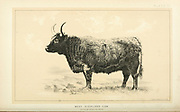 West Highland Cow from Cattle and dairy farming. Published 1887 by Govt. Print. Off. in Washington. United States. Bureau of Foreign Commerce (1854-1903)